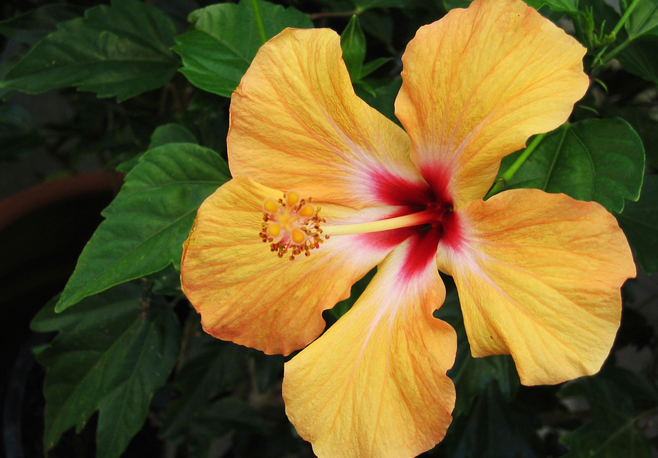 hibiscus plant trend tuin lente
